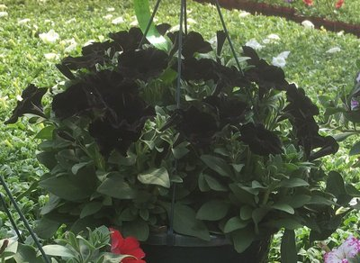 Petunia Black Magic Hanging Basket